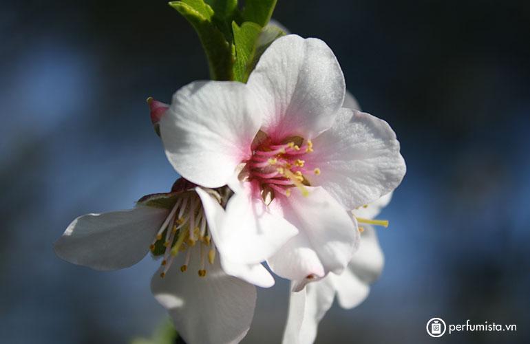 Hoa hạnh nhân