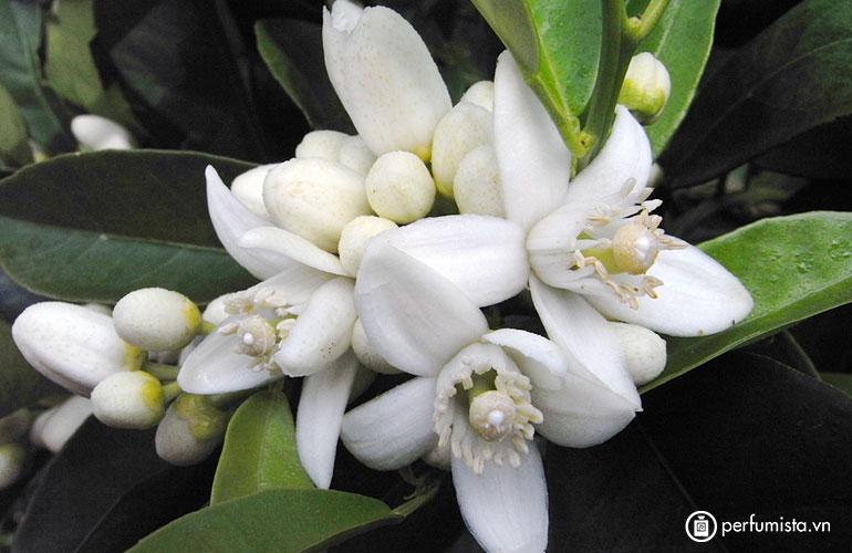 Hoa cam Neroli