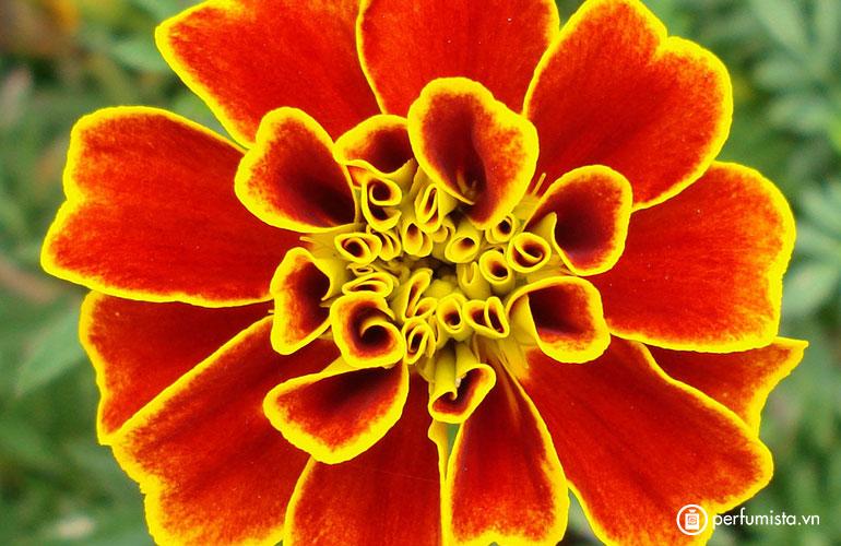 Hoa cúc kim tiền