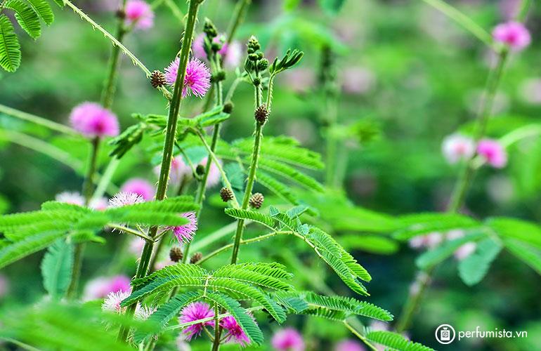 Hoa trinh nữ