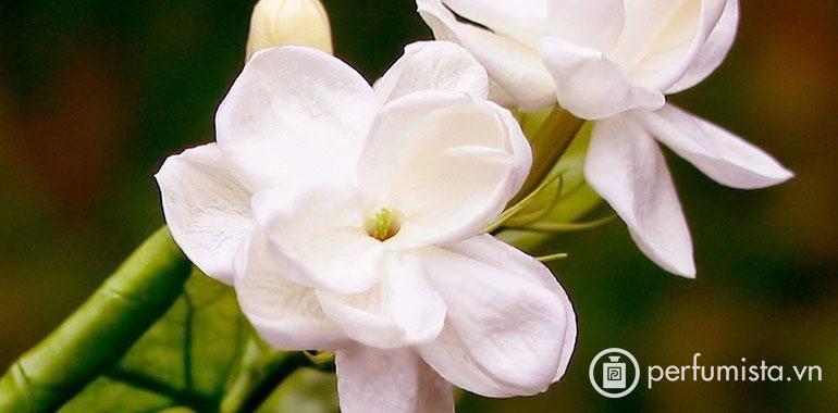 Hoa Melati