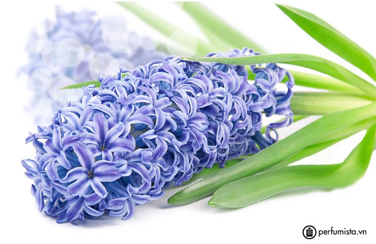 Hoa lan dạ hương