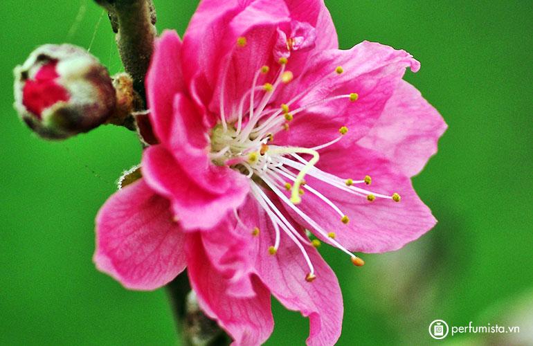 Hoa quả đào
