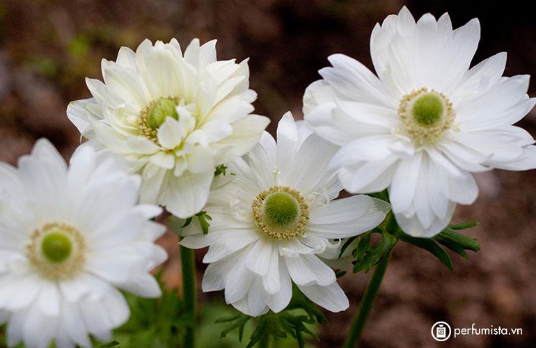 Hoa cỏ chân ngỗng
