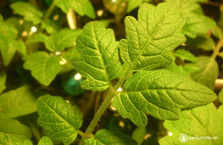 Hương nước hoa Tomato Leaf - Lá cà chua