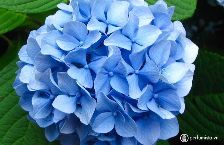 Hoa tú cầu