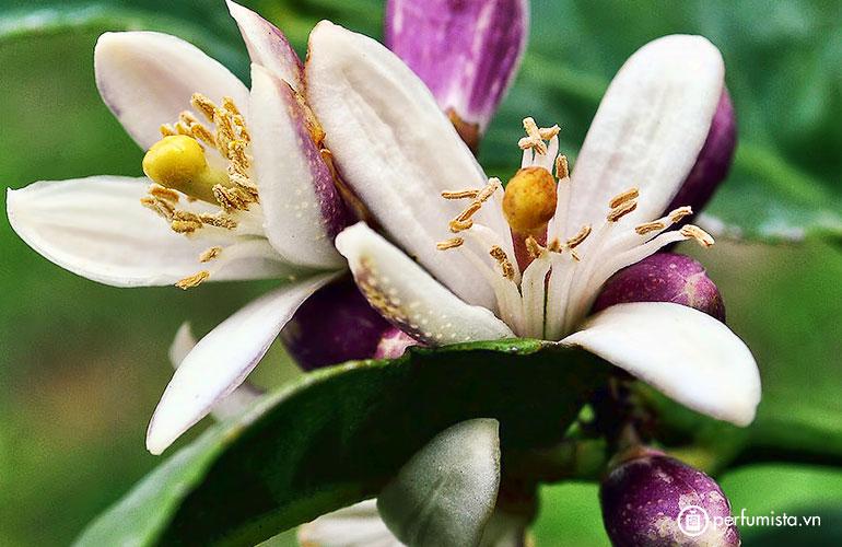 Hoa chanh vàng