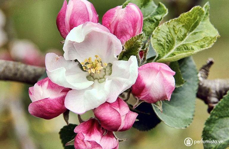 Hoa táo