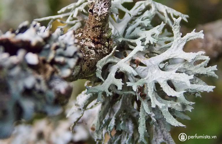 Rêu sồi