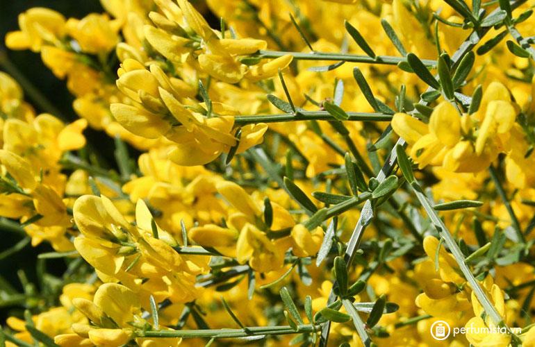 Hoa Lydia Broom
