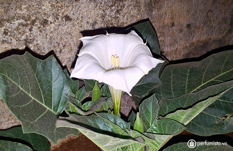 Hoa cà dược