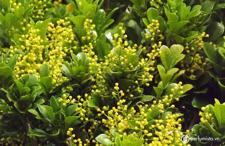 Hoa Aglaia