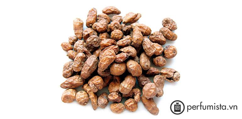Quả Cyperus scariosus