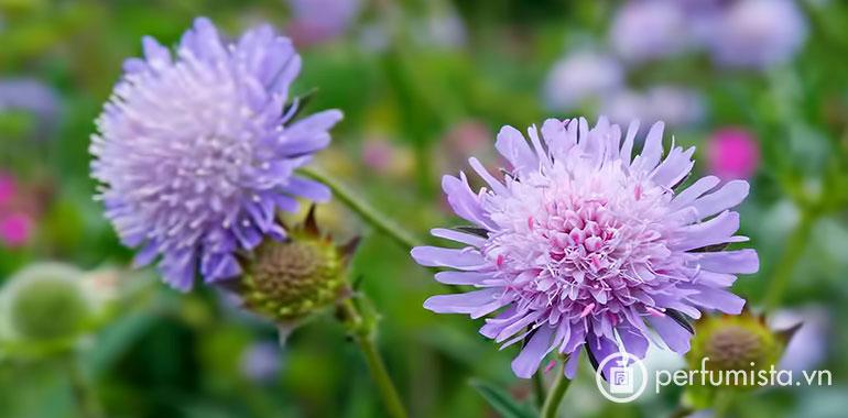Hoa Field Scabious
