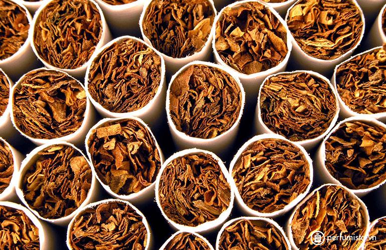 Cây thuốc lá