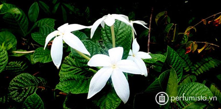 Hương hoa Karo Karounde