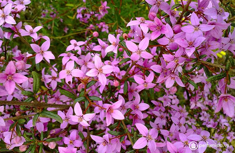 Hoa Boronia