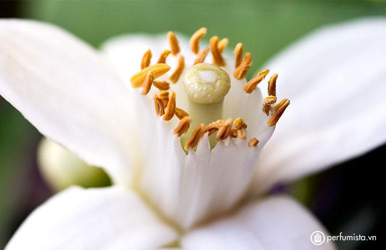 Hoa cam Châu Phi