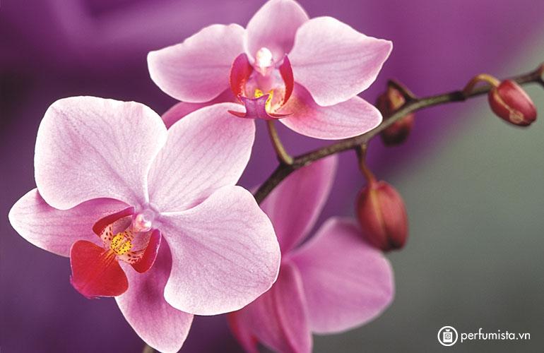 Hoa phong lan Vani