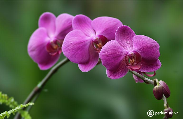 Hoa phong lan dại