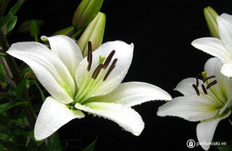 Hoa huệ lục