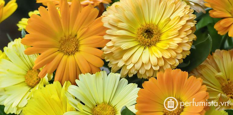 Hoa cúc vạn thọ Anh