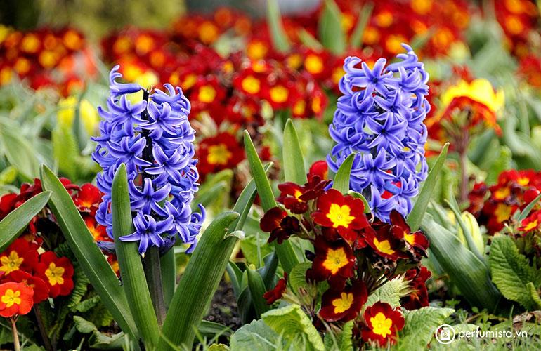 Hoa lan dạ hương (Hiacynth)
