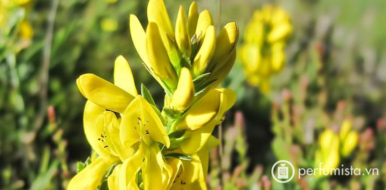 Hoa Dyer's Greenweed