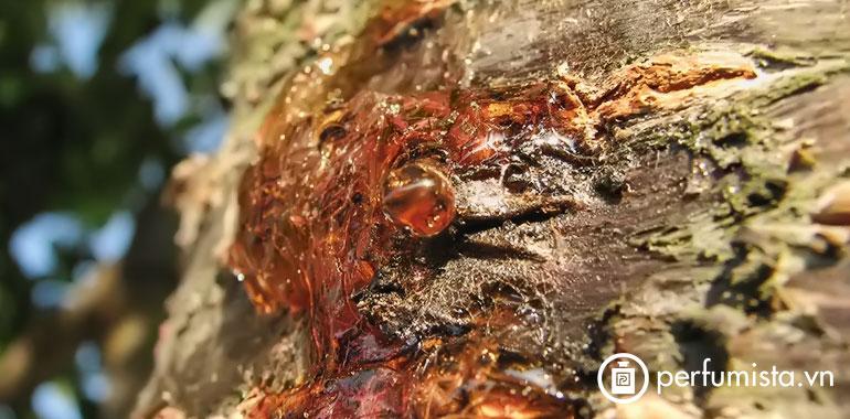 Hương nhựa cây Elemi