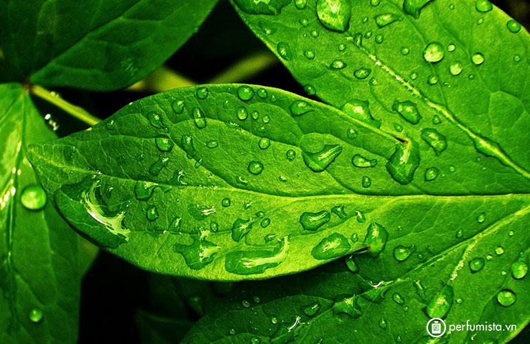 Hương lục của lá xanh