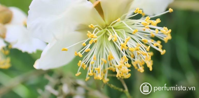 Hoa Kiwi