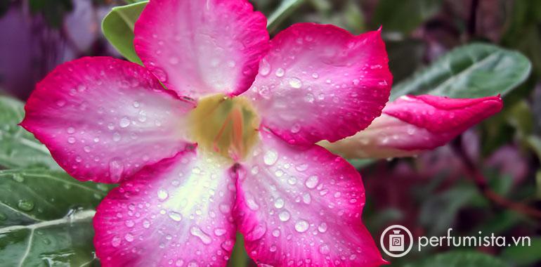 Hoa hồng sa mạc