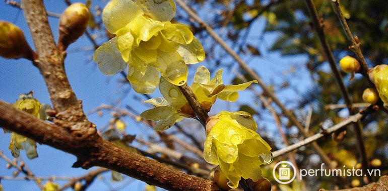 Chimonanthus or Wintersweet