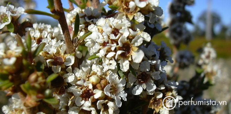 Hoa Fagonia