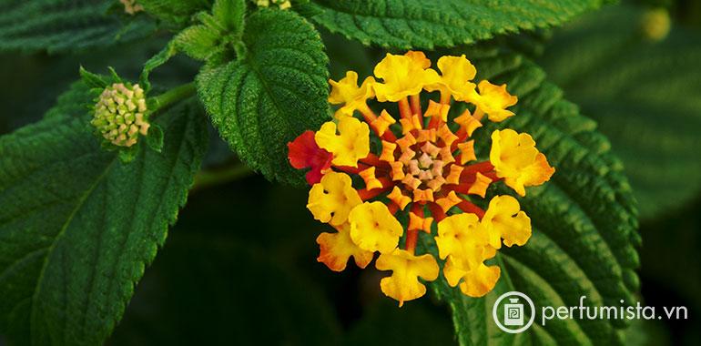 Lá hoa ngũ sắc