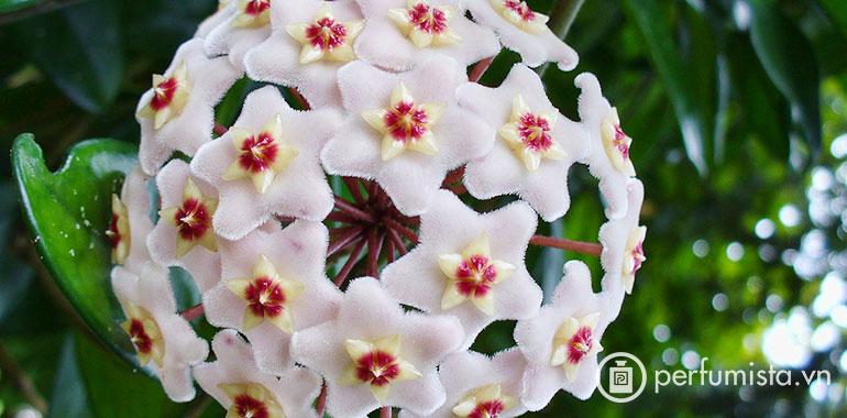 Hoa cẩm cù