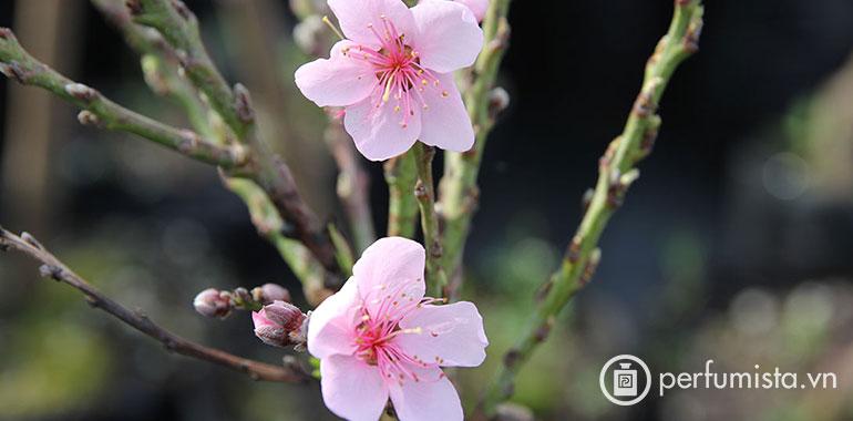 Hoa Xuân Đào
