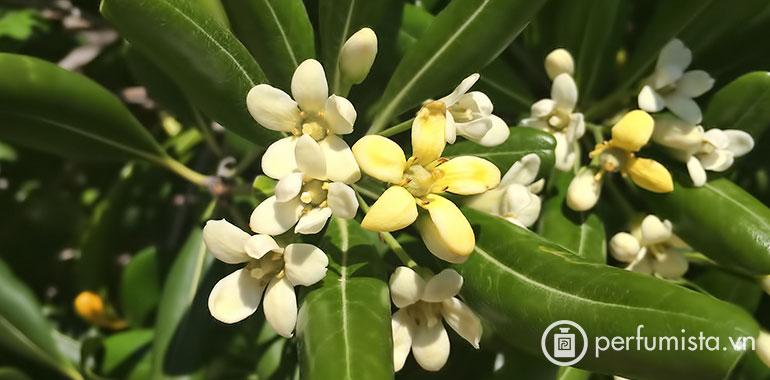 Hoa hải đồng