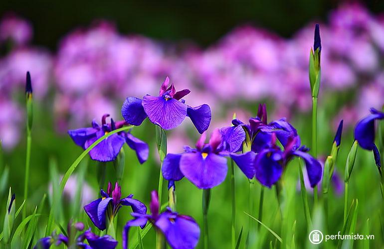 Hoa diên vĩ (Orris)