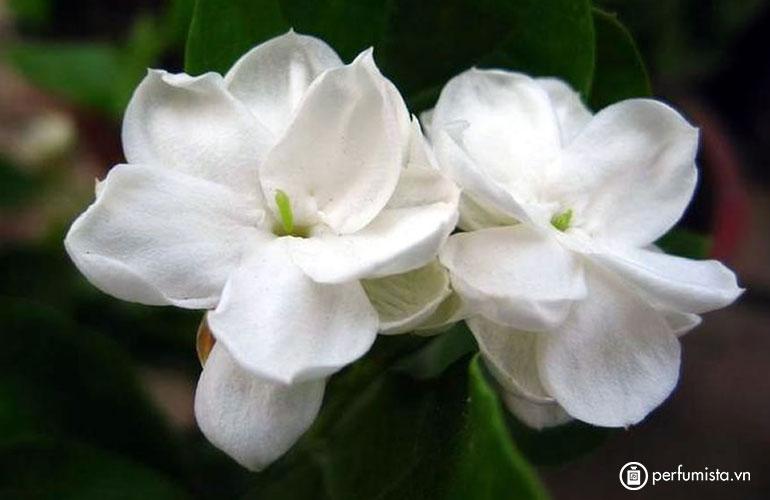 Hoa nhài Sambac
